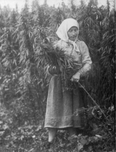 (Cannabis Harvesting)
